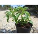 Stevia (Stevia rebaudiana)