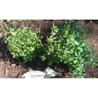 Rama, Ocimum sanctum aux tiges et feuilles vertes