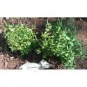 Rama - tiges et feuilles vertes (Ocimum sanctum)