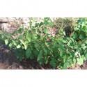 Vana - grandes feuilles vertes poilues et fleurs jaunes (Ocimum gratissimum)