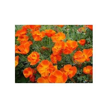 Pavot de Californie (Eschscholtzia california)