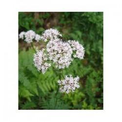 Valériane officinale (Valeriana officinalis)