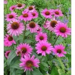 Echinacea purpurea (Echinacea purpurea)