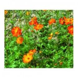 Cosmos sulfureux orange (Cosmos sulfureus)