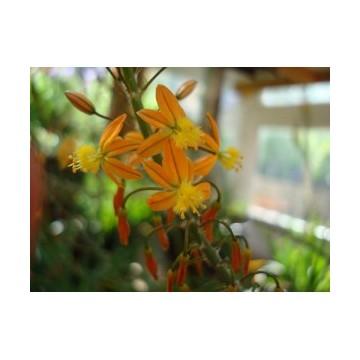 Bulbine (Bulbine frutescens)