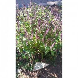 Cannelle (Ocimum basilicum var cinnamomum)