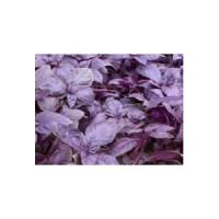 Rouge* (Ocimum basilicum)