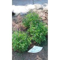 Tanzanie (Ocimum basilicum)