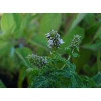 Maroc (Mentha spicata v.crispa)