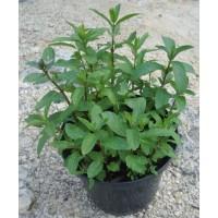 Russe (Mentha species)