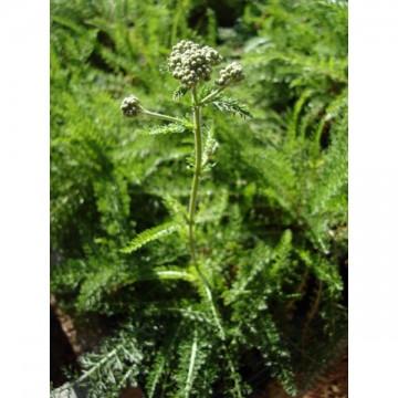 Achillée millefolium (Achillea millefolium)