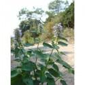 Agastache Anisée (Agastache foeniculum)