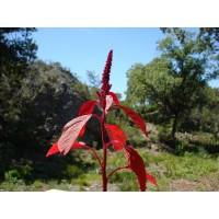 Amarante (Amaranthus sp.)