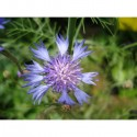 Bleuet (Bleuet centauriat)