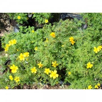 Tagète jaune et orange (Tagetes tenuifolia)