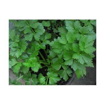 Celeri à feuilles (Apium graveolens)