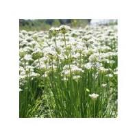 Ciboule de Chine (Allium tuberosum)
