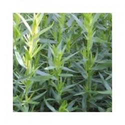 Estragon (Artemisia dracunculus v. sativa)