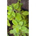 Marjolaine (Origanum majorana)
