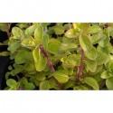 Marjolaine d'hiver (Origanum x majoricum)