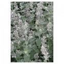 Melisse blanche (Nepeta cataria ssp. citriodorata)