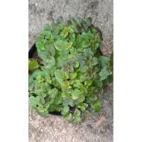 Origan grec (Origanum vulgare ssp. hirtum)