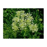 Passerage (Lepidium latifolium)