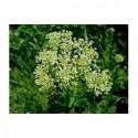 Passerage (Lepidium latifolium)