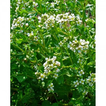 Raifort officinale (Cochlearia officinale)