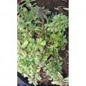Sarriette vivace (Satureia montana)