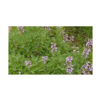 Sauge dalmatienne (Salvia officinalis ssp. Major)