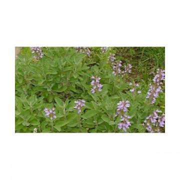 Sauge dalmatienne (Salvia officinalis ssp. Major)
