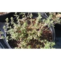 Thym ordinaire (Thymus vulgaris)