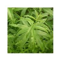 Verveine odorante (Aloysia triphylla, Lippia citriodora)