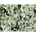 Alysse odorante (Alyssum maritimum)