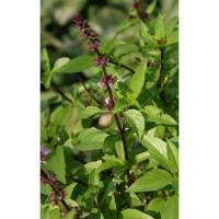 Thailandais à petites feuilles (Ocimum basilicum)