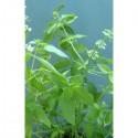 Citron à petites feuilles (Ocimum basilicum)