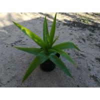 Bulbine natalensis – Rooiwortel
