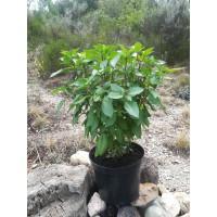 Basilic russe (Basilicum ocimum) - Lamiaceae
