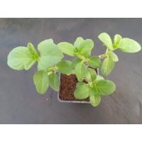 Tulsi Kapura – Basilic du Kenya (Ocimum kilimandscharicum) - Lamiaceae