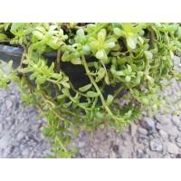 Brahmi (Bacopa monnieri) - Scrophulariaceae
