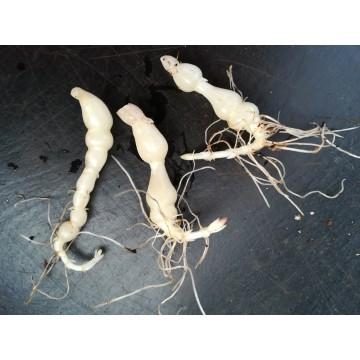 Crosne du Japon (Stachys affinis) – Lamiaceae