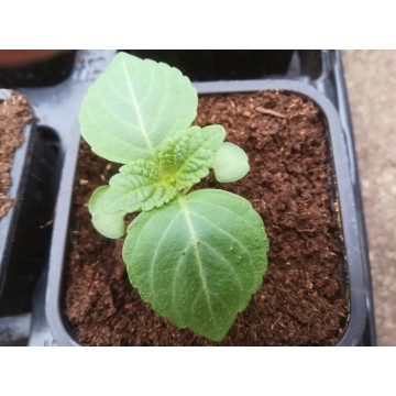 Perilla verte – Shiso (Perilla frutenscens) – Lamiaceae