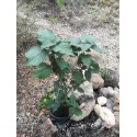 Perilla bronze – Shiso (Perilla frutenscens) – Lamiaceae