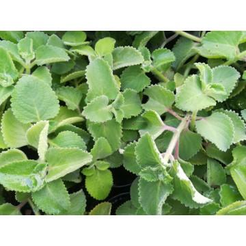 Thym jamaïque - Gros Thym (Plectranthus amboinicus) - Lamiaceae