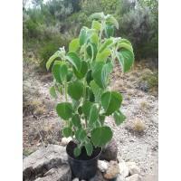 Feuille de citron d'Australie – Plectranthus «Mount Carbine» - Lamiaceae