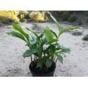 Cardamome (Elettaria cardamomum) – Zingiberaceae