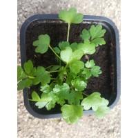Sedanina – Apium nodiflorum (Helosciadum nodiflorum) – Apiaceae