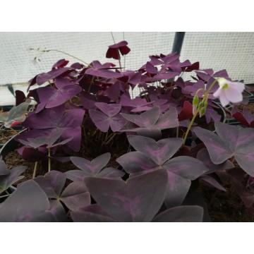 Oxalis (Oxalis triangularis) – Oxalidaceae