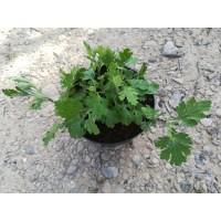 Chrysanthème à thé – Ju Hua (Chrysanthemum morifolium)